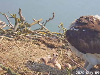 Two osprey chicks at the Manton Bay nest