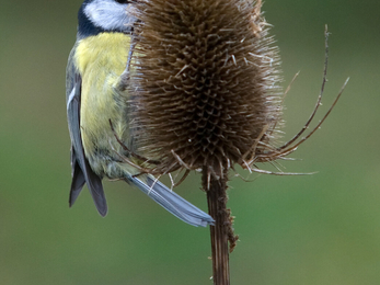 Blue tit on teasel