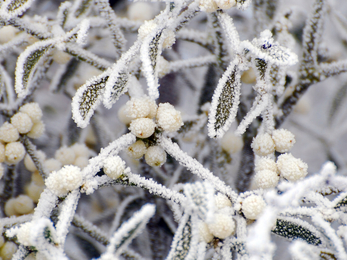 Frosty mistletoe