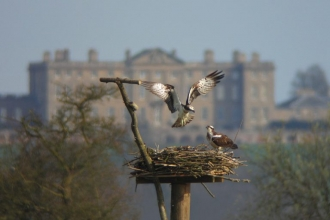 Manton Bay ospreys (c) John Wright
