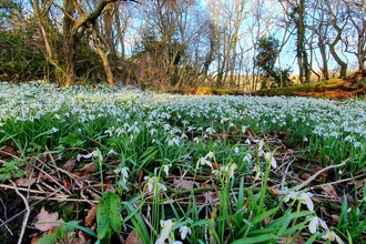 Snowdrops at Dimminsdale