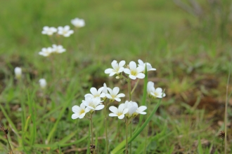 Meadow Saxifrage (c) Keiron Huston