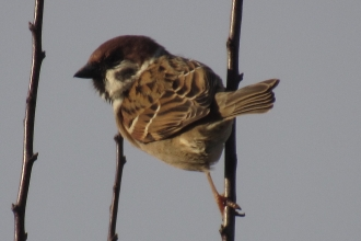Tree Sparrow taken by Sam Newcombe