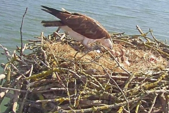 Manton Bay Osprey nest