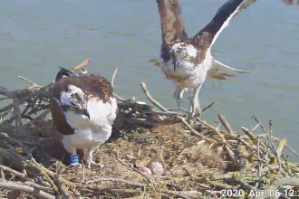 Maya and 33 on the nest with eggs