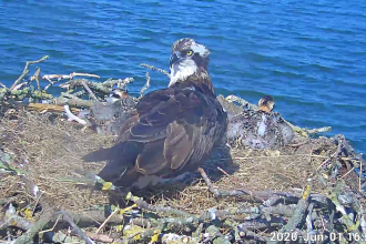 Maya and chicks on the Manton Bay nest