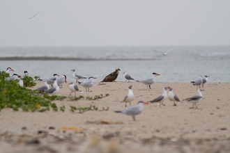 Ospreys on Gambian beach
