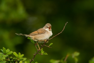 Whitethroat (c) Andrew Parkinson/2020Vision