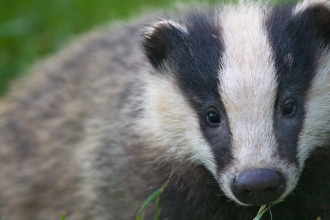 Badger (C) Bertie Gregory/2020VISION