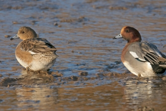 Wigeon (c) Chris Gomersall/2020Vision