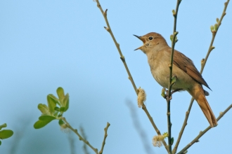 Nightingale (c) Chris Gomersall/2020Vision