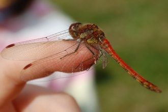 Common Darter (c) Scott Petrek