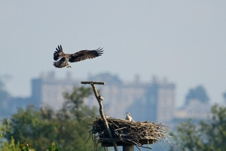 Osprey at Manton Bay, Rutland Water