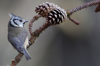 Winter Crested Tit