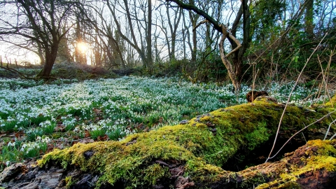 Dimminsdale snowdrops