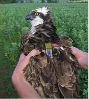 Osprey with satellite tag