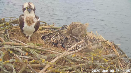 Maya and the four osprey chicks