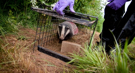 Badger Vaccination (c) Tom Marshall