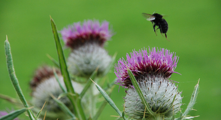 Common thistle and bumblebee