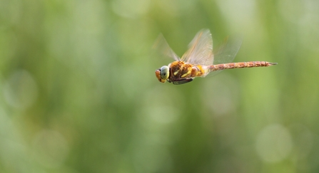 Norfolk hawker dragonfly