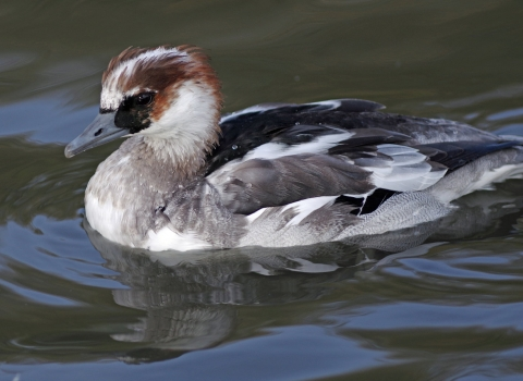 Smew (c) Gillian Day