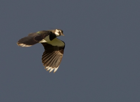 Lapwing (c) Peter Cairns
