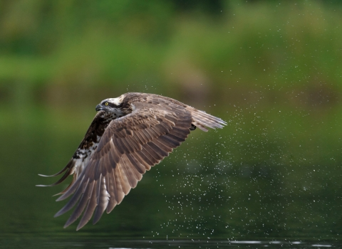 Osprey flying over water